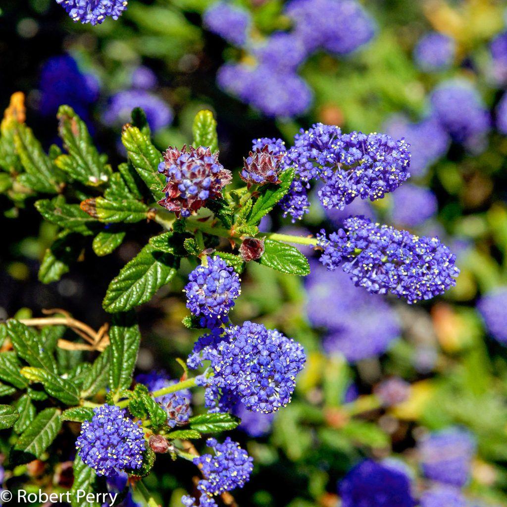 Ceanothus 'Concha' - Inland Valley ... | California native ...