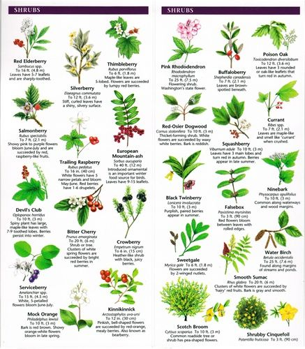 A Pocket Naturalist Guide To Washington State Trees Wildflowers Tree Leaf Identification Washington State Tree Tree Identification