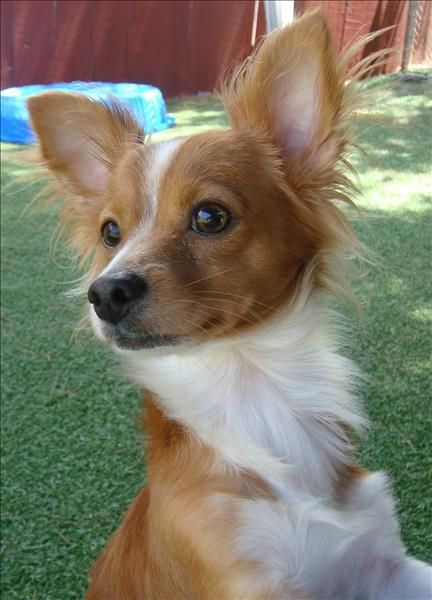 Pin By Beth Wolly On Dogs Dogs Long Haired Chihuahua Chihuahua Mix