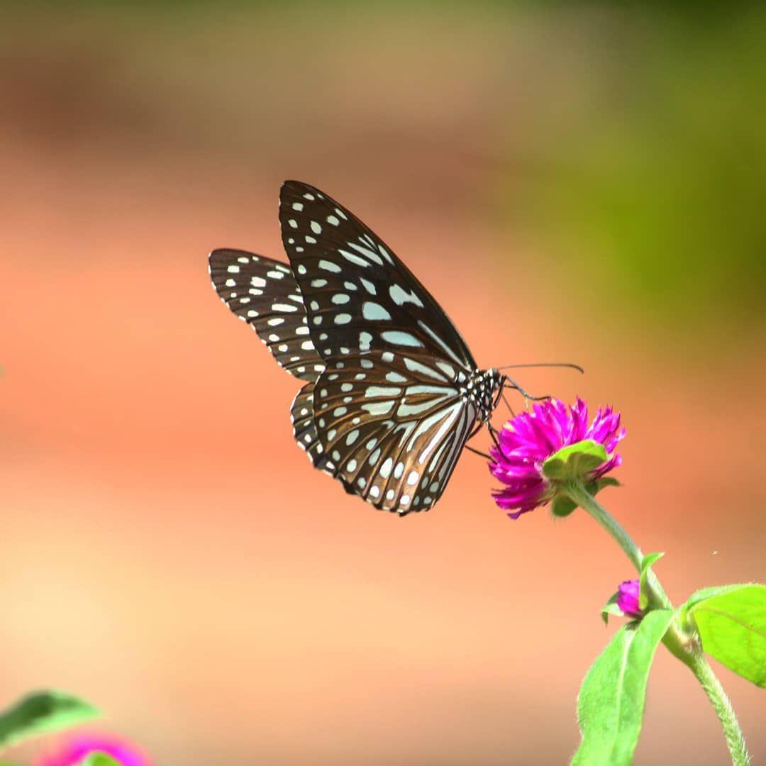 Butterfly Butterflyphotography Naturephotography Nature Kannur Kerala Flowerphotography Flowers Garden Canon World Butterfly Plants