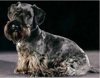 All Dog Breed Information Cesky Terrier Akc Dog Breeds Terrier