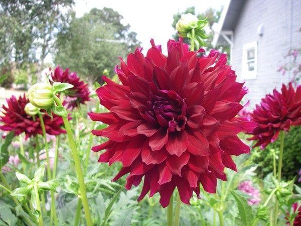 Knight Hawk Dahlia Flowers Beautiful Flowers