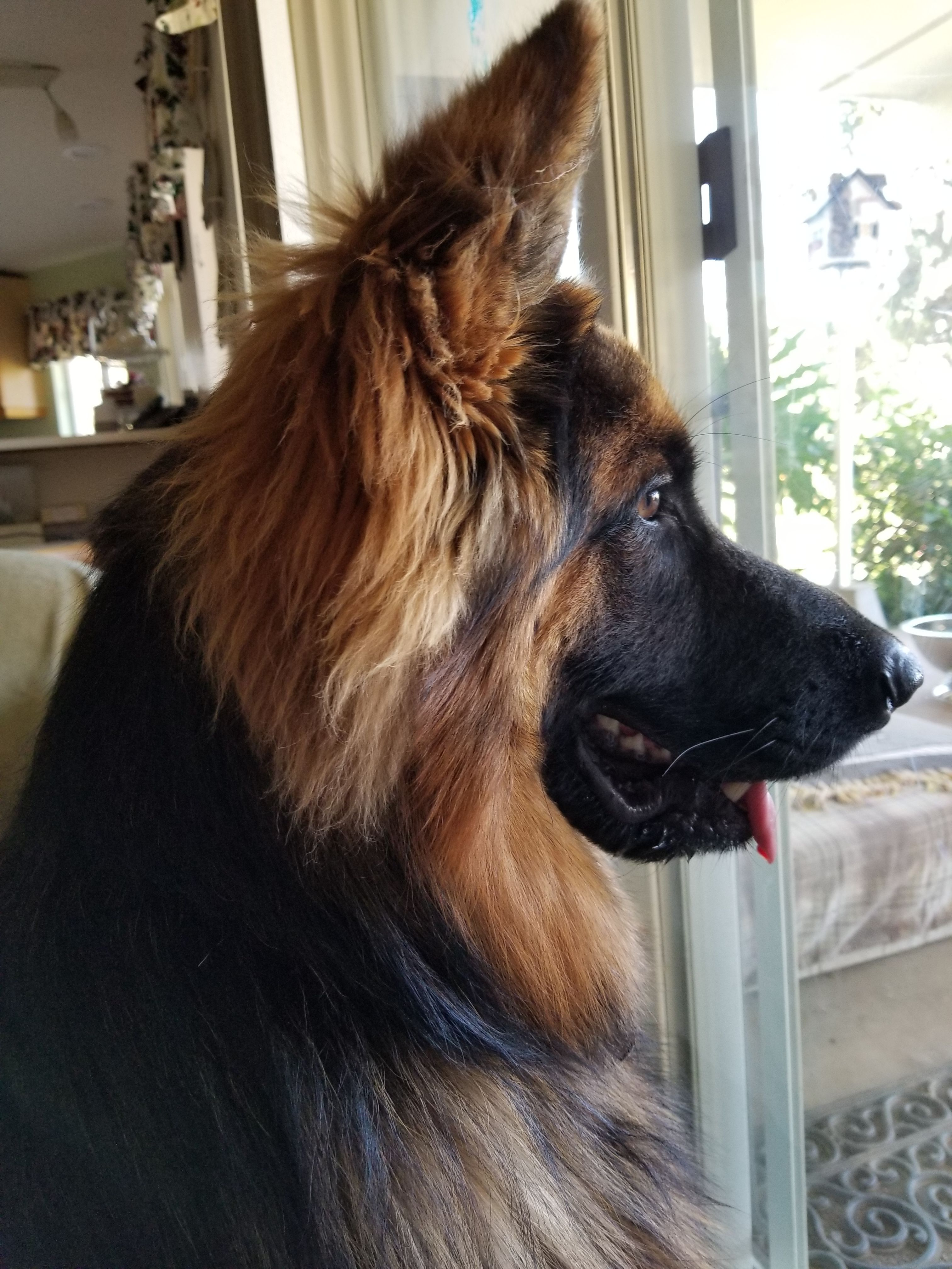 He S Intensely Watching Squirrels Romping In The Back Yard My Ted E Bear Perros Pastor Aleman Perros Perros Lindos