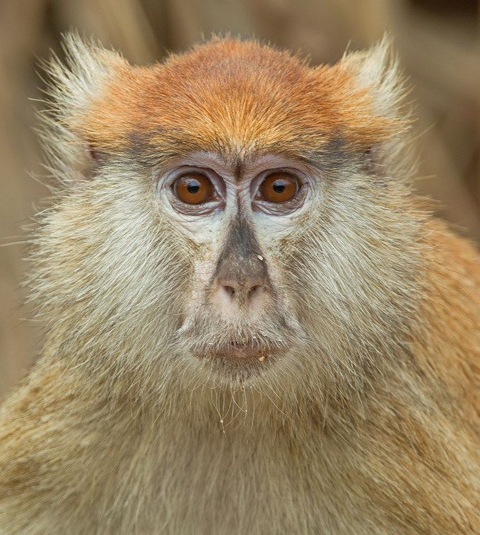 Patas monkey( Erythrocebus patas) photographed by Paul Cools in The Gambia on 19th February 2014