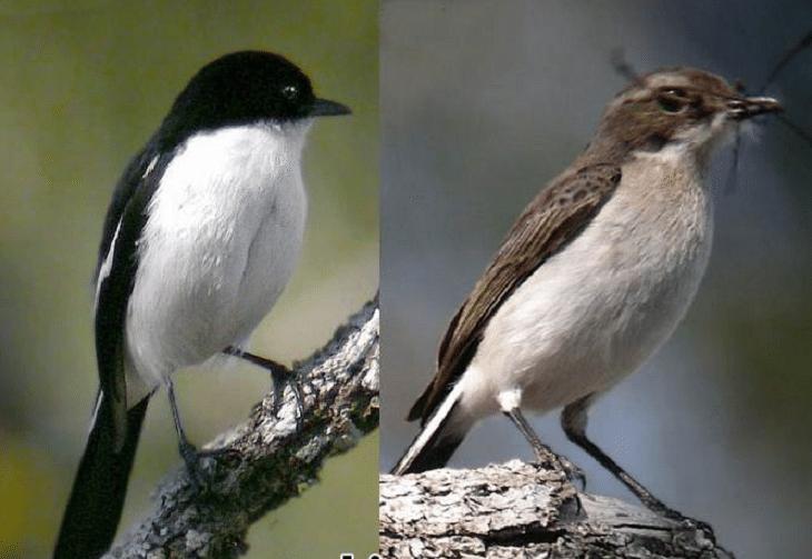 Mengetahui Habitat Burung Decu Dan Perkembangbiakannya Habitat Betina