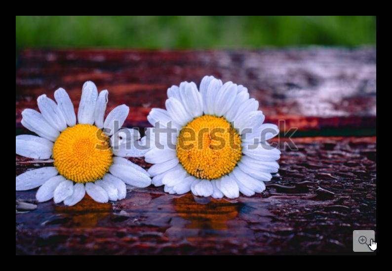 Two White Chamomile Flowers As An Expression Of Love أزهار البابونج الأبيض كتعبير عن الحب Chamomile Flowers Stock Photos Photo Editing