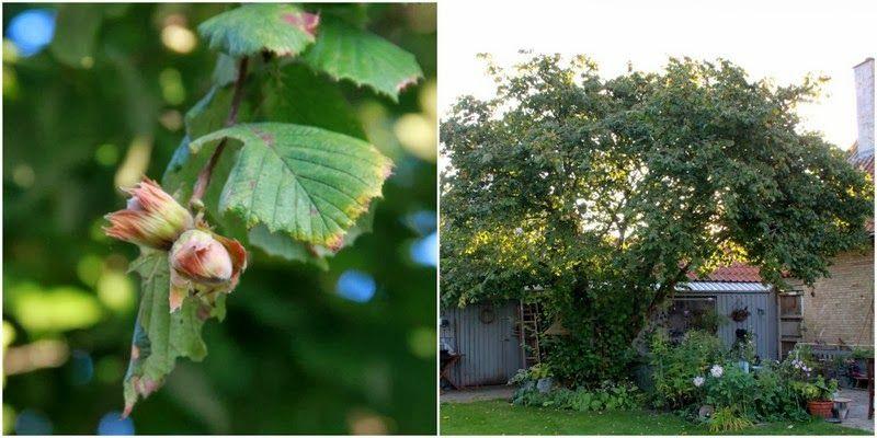 NAVN:Corylus avellana DANSK NAVN: Almindelig hassel LYSFORHOLD: Sol og halvskygge HÅRDFØR: Ja JORDBUND: Almindelig næringsrig havejord - vildtvoksende VÆKST: Flerstammet STØRRELSE: Fra 8-10 m. BLOMSTRING: Blomstrer på sidste sæsons vækst. Hanraklernes blomstrer er gule og hængende. ANVENDELSE: Solitært eller i buskgrupper i haven eller vildtvoksende. Nødden er en spiselig delikatesse. TEKST & FOTO: MARIANNE