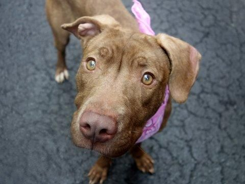 Meet HAZEL a Petfinder adoptable Pit Bull Terrier Dog | New York, NY | A volunteer writes:  Petite, beautiful, tail waggy, friendly, affectionate, an adorable little girl...