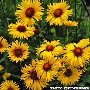 Amber Wheels gaillardia. Huge golden flowers with amber-red centers. Plants grow 2.5-3 feet tall. Garden perennial