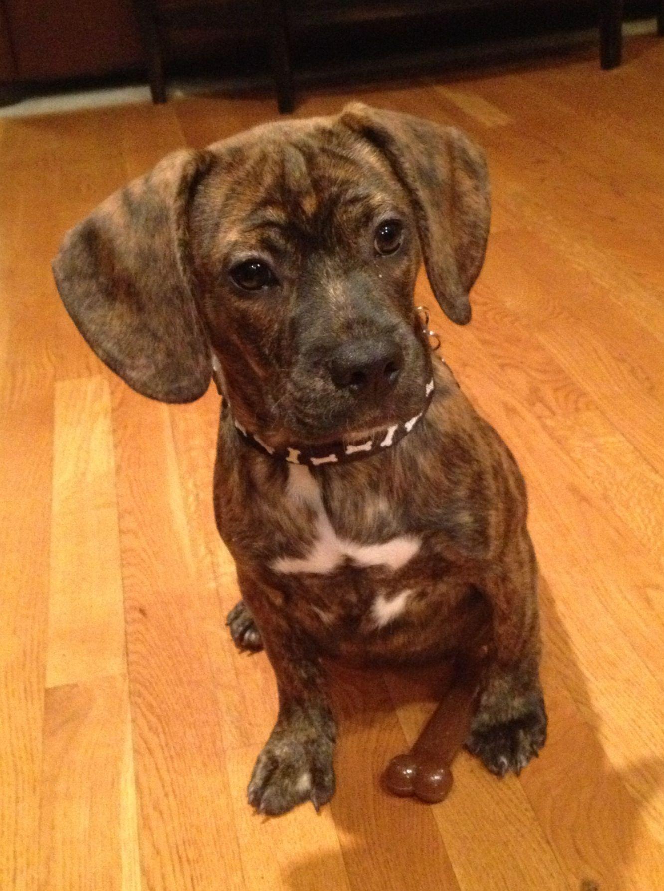Our Frengle Puppy Hybrid Mix Half French Bulldog Half Beagle