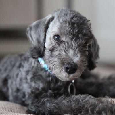 Top 6 Cleanest Dog Breeds Bedlington Terrier Puppy Rare Dog Breeds Bedlington Puppy