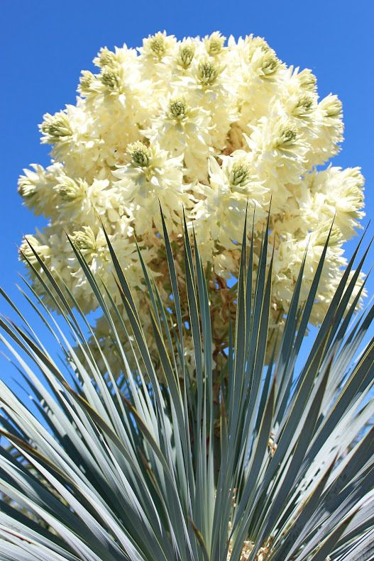 Yucca Rostrata La Flora De Botanic Cullera Nature Pinterest