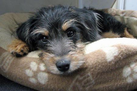 D 862 Wowauzer Miniature Schnauzer Welsh Terrier Terrier