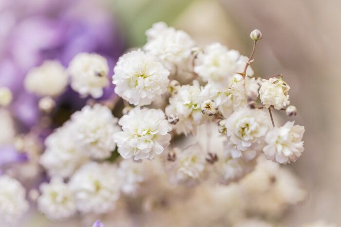 Baby Breath Flowers Everlasting And Undying Love Including Family Platonic And Romantic Bonds Flower Meanings Babys Breath Flowers Babys Breath