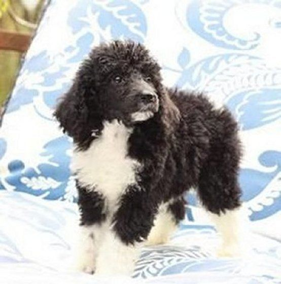 Fluffy Mad Photo Poodle Puppies For Sale Poodle Puppy Poodle