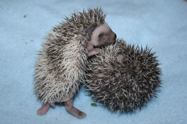 Baby Hedgehogs For Sale In Northeast Texas | Texas Exotic