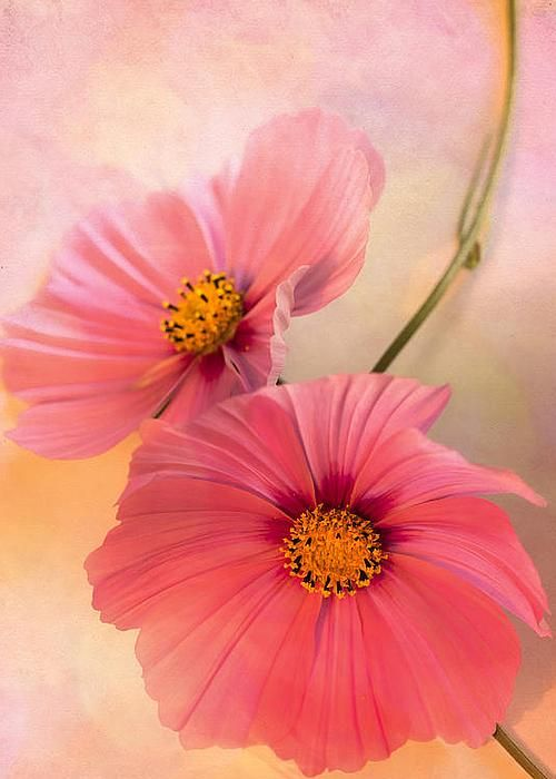 Together Greeting Card By Jan Bickerton Cosmos Flowers Flower Wallpaper October Flowers