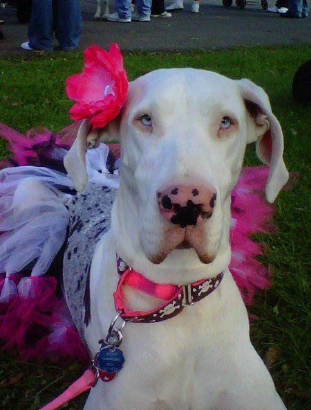 Pinkie Lu My Deaf Great Dane Great Dane Dogs Great Dane Great