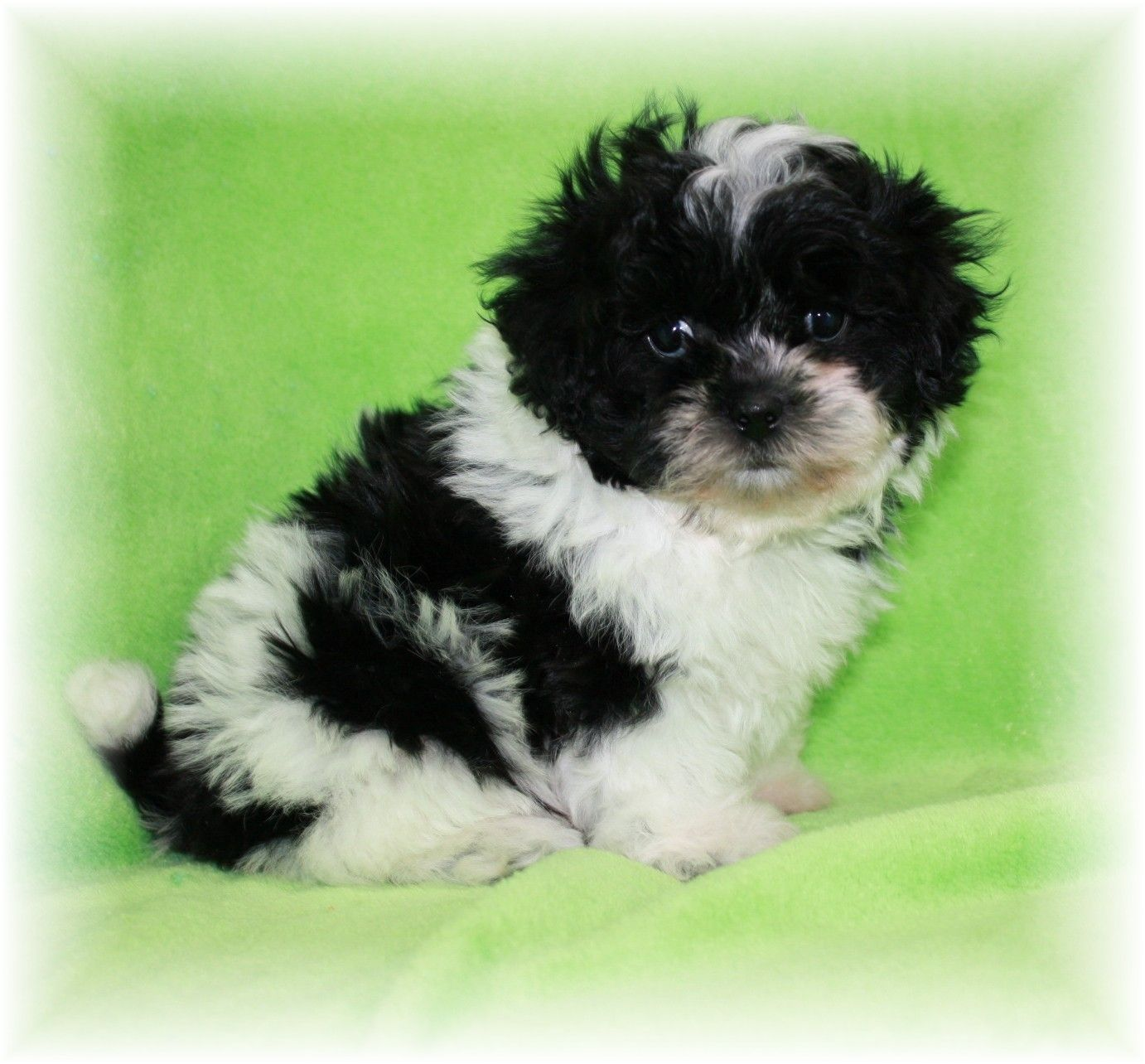 Oreo Is An Adorable Fluffy Teddy Bear Shih Tzu Poodle Mix See