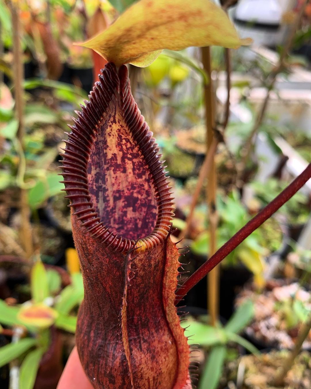 Nepenthes singalana x Red Hairy Hamata is a wonderful cross ...