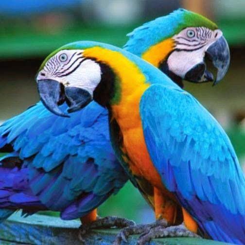 Blue Gold Macaw Parrots