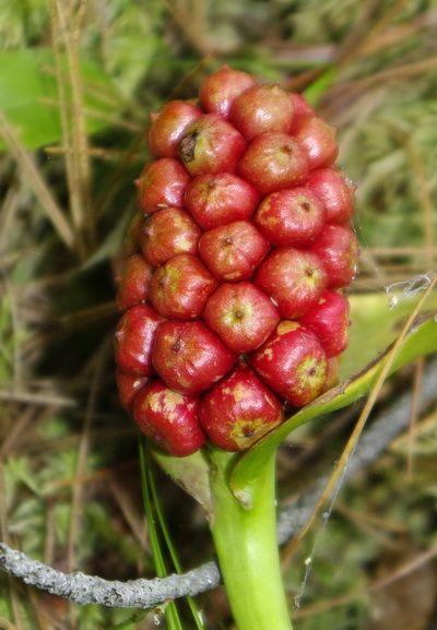 Wild calla fruit, copyright 2010 Andy Fyon, www