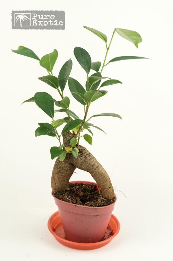 Ficus Ginseng Grow Pinterest Ficus Plants And Terrarium Plants