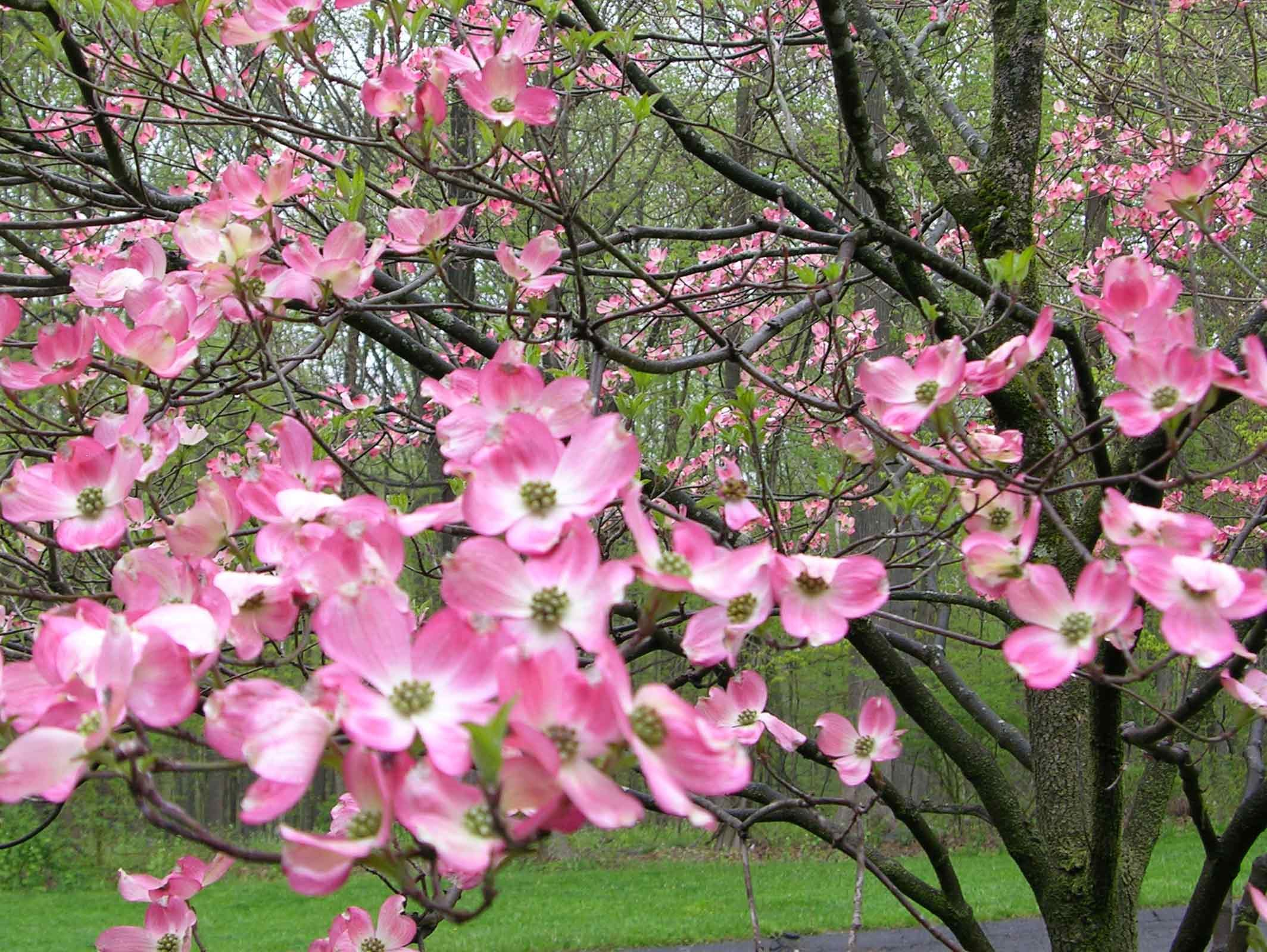 Trees Of Menokin Pinterest Dogwood Trees Red Dogwood And