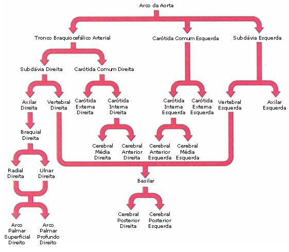 Aula de Anatomia - Sistema Cardiovascular - Sistema Arterial   med ...