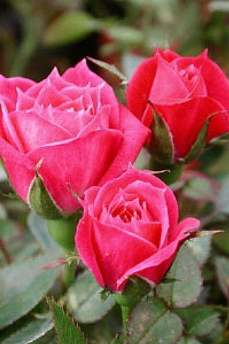 Rubellite Micro Miniature Rose Bush Fragrant Hardy 4 Pot Rose Rose Bush Rose Flower