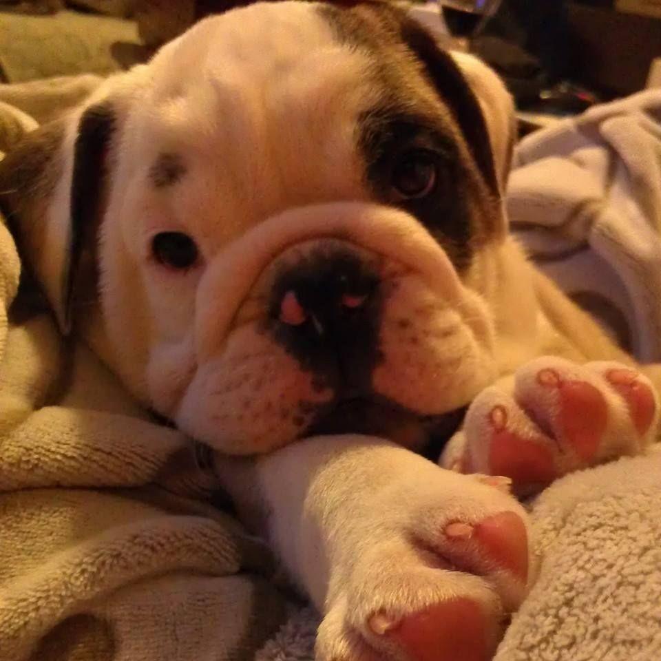 Baggy Bulldogs Perros