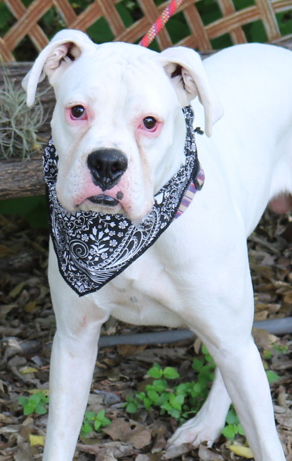 Bulloxer dog for adoption in bandera tx adn688753 on