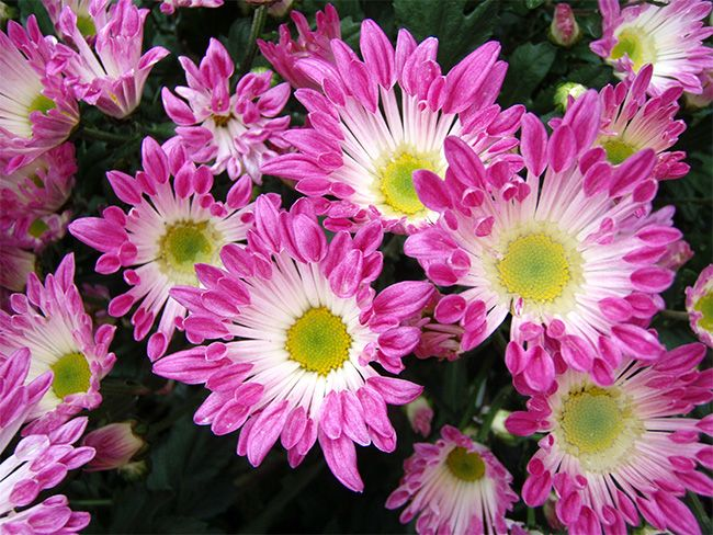 10 Best Houseplants That Clean The Air In Your Home Chrysanthemum Morifolium Chrysanthemum Air Cleaning Plants