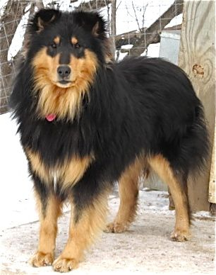 Shollie Shepherd Mix Dogs Dog Breeds Collie Dog