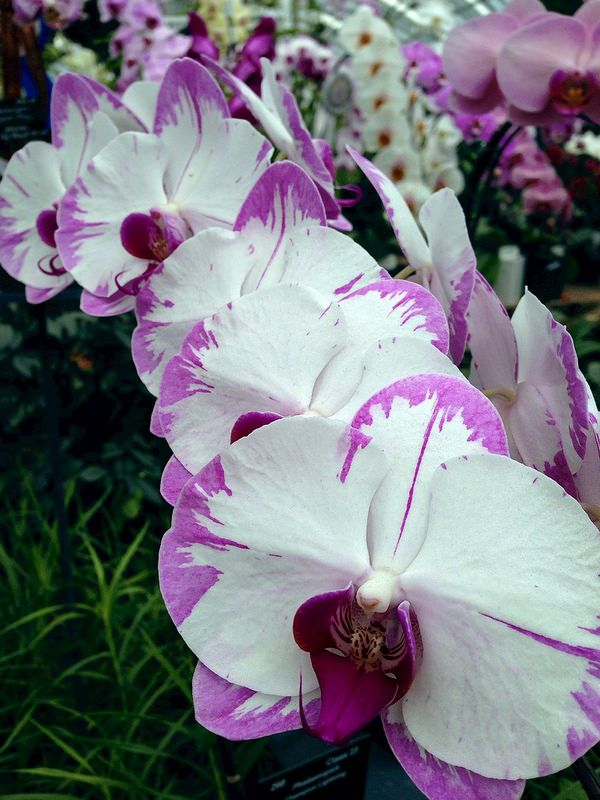Beautiful Pink And White Orchids By E Villa Garden Whimsy Orchids Orchidaceae