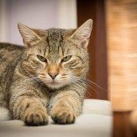 #dogalize Enfermedades de los gatos: Hipertiroidismo felino #dogs #cats #pets
