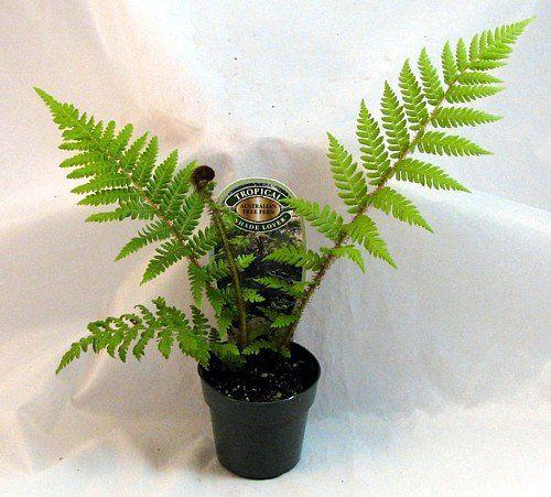 Australian Tree Fern Cyathea Cooperi Exotic 3 Quot Pot Australia The Great Pinterest