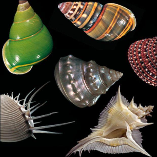 Juwelen Der Meere Muscheln Muschelschale Schnecken