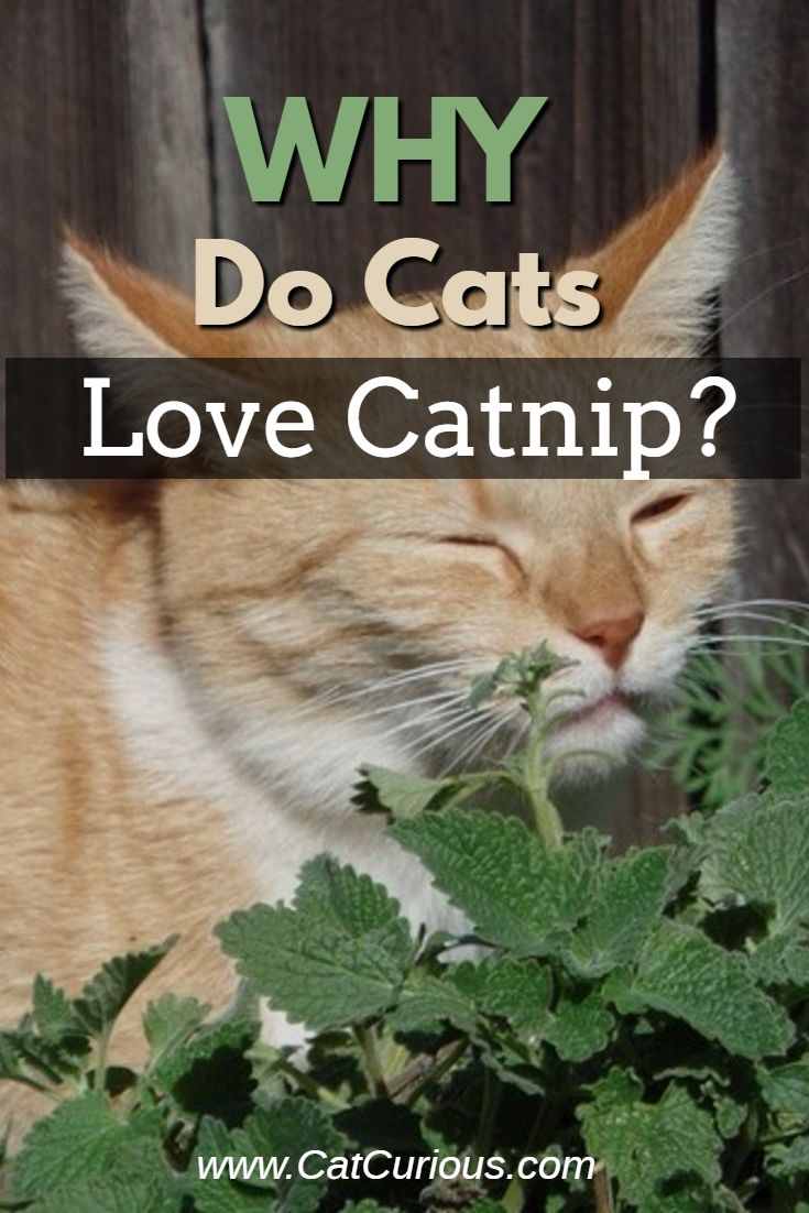 Why do cats love catnip so much? Is catnip safe for cats