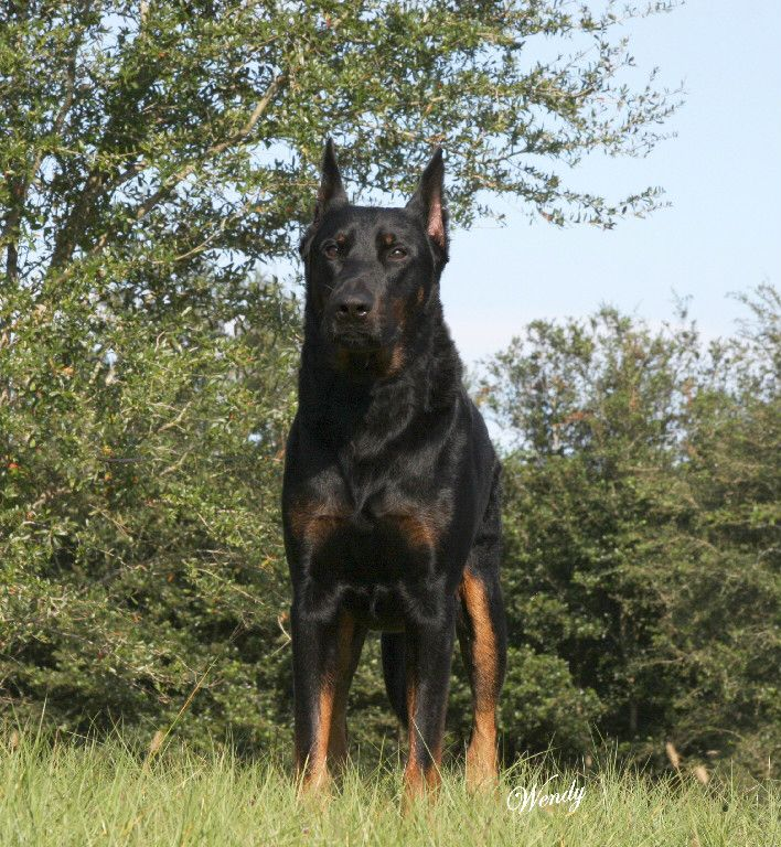 Beauceron Mastiff Dogs Different Dogs Beauceron