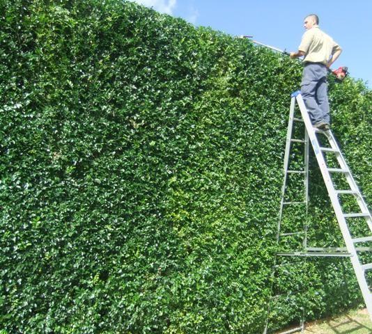 Image Result For Viburnum Odoratissimum Hedge Hedges