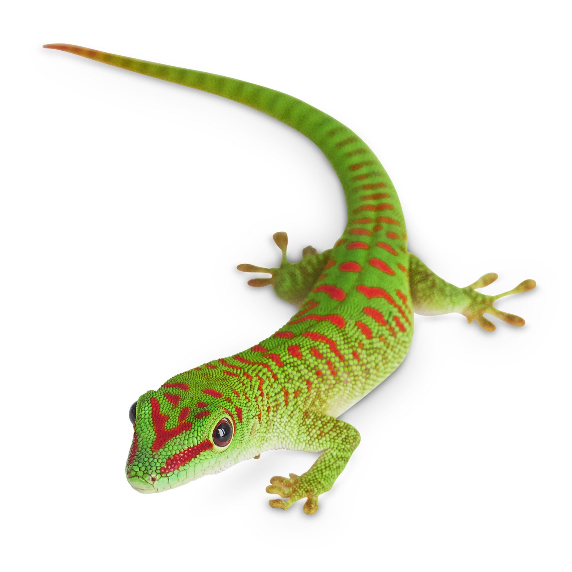 Giant day gecko petco gecko petco dog clothes patterns