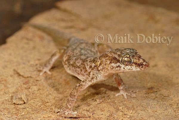 Phyllodactylus lepidopygus; Western Leaf-toed Gecko