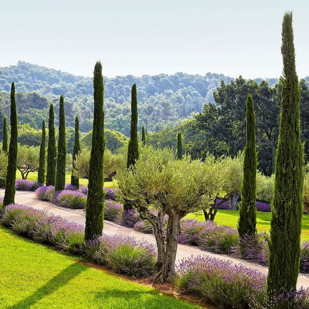 Tuscan House Style With Front Walkway And Italian Cypress: Olive Trees, Lavender, And Provençal Cypress Line The