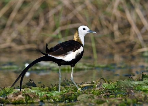 Pheasant-tailed Jacana: are a group of waders in the family Jacanidae that are identifiable by their huge feet and claws which enable them to walk on floating vegetation in shallow lakes, their preferred habitat. The Pheasant-tailed Jacana is capable of swimming, although it usually walks on the vegetation. The females are more colourful than the males and are polyandrous. http://en.wikipedia.org/wiki/Pheasant-tailed_Jacana