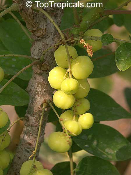 Phyllanthus acidus, Phyllanthus distichus, Otaheite Gooseberry, Amlak, Grosella, Gooseberry tree