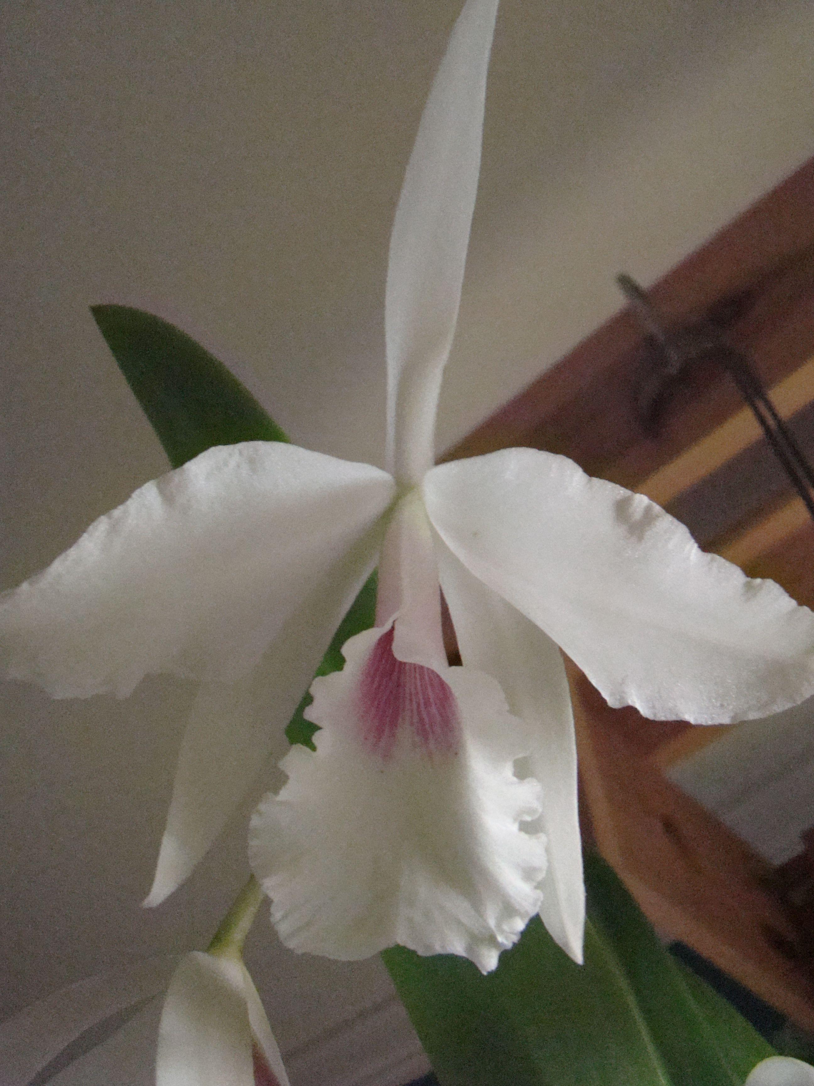 Bc Inboriboon has a lovely fragrance