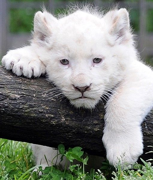 An adorable white lion cub is photographed in his pen at ...
