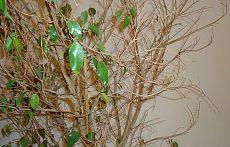 Почему опадают листья у фикуса (что делать?)