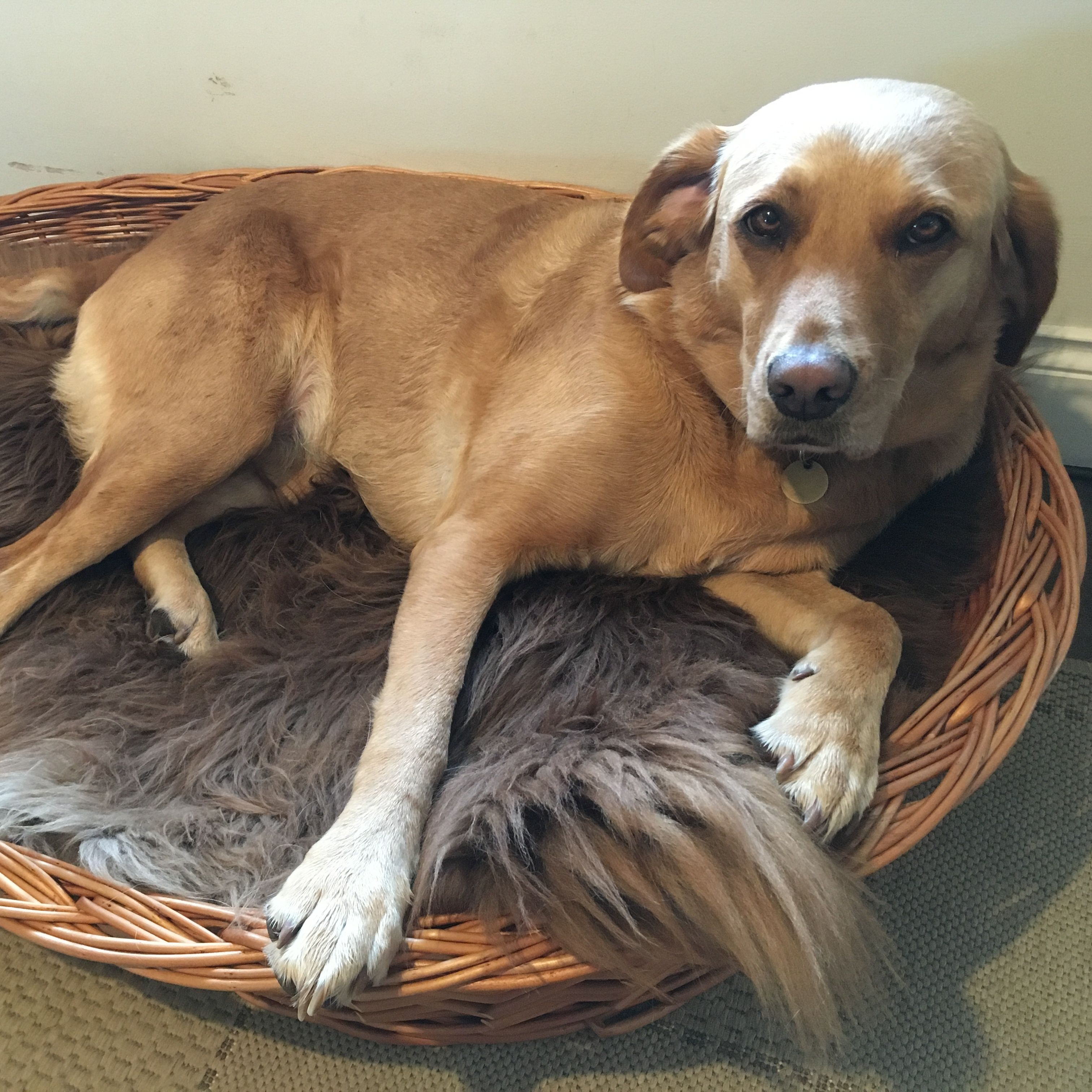 Nancy Pugliese's Red Fox Labrador relaxing with a lovely
